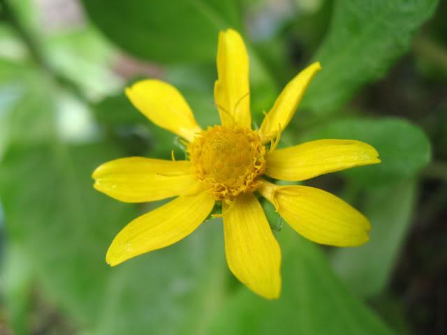 Kỹ thuật chăm sóc hoa cúc mặt trời
