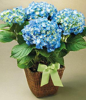 hoa cẩm tú cầu xanh