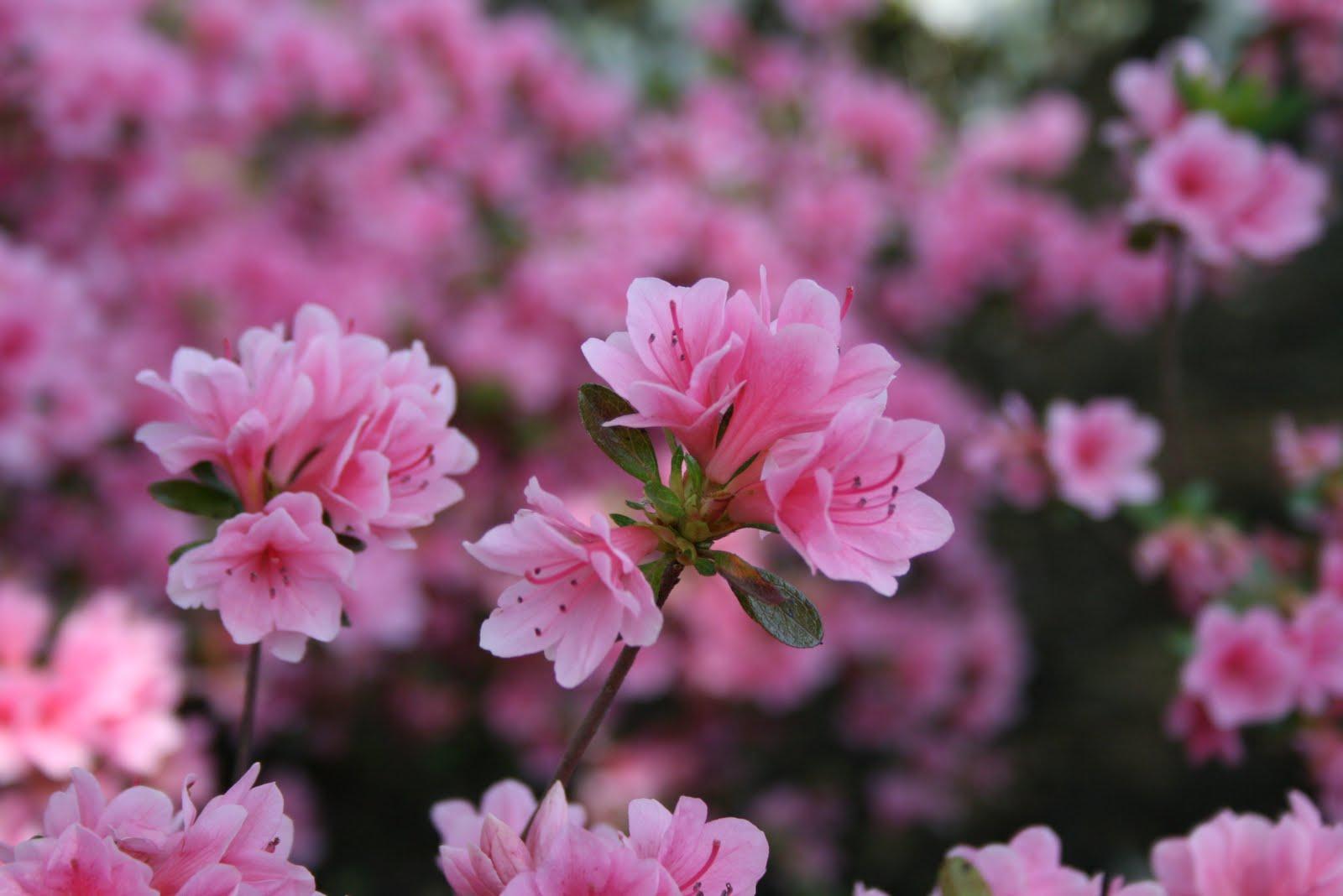 Kỹ thuật trồng và chăm sóc hoa Đỗ quyên