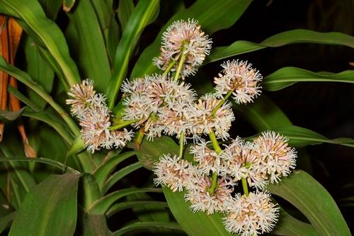 Kỹ thuật chăm sóc cây phát tài ra hoa