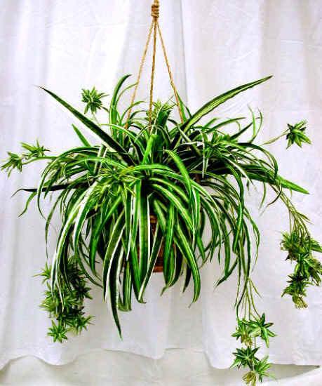 Một số loại cây làm sạch không khí trong nhà (p2)