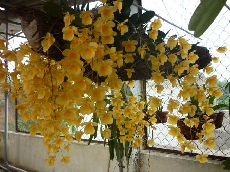 Phong lan hoàng thảo