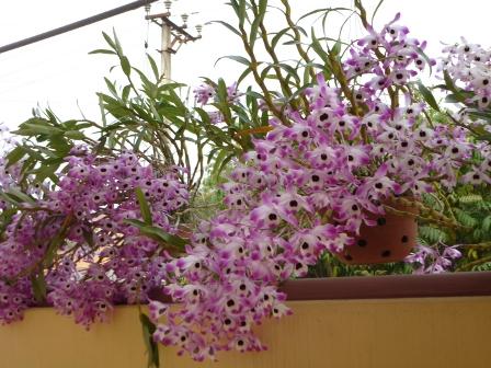 Phong lan Dendrobium