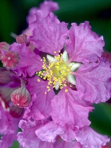 Sự tích hoa Bằng Lăng