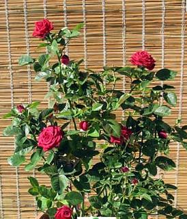 Trồng hoa ở ban công giúp hóa giải phong thủy