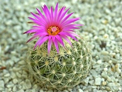 Hướng dẫn chăm sóc cây xương rồng và kích thích cây ra hoa đẹp