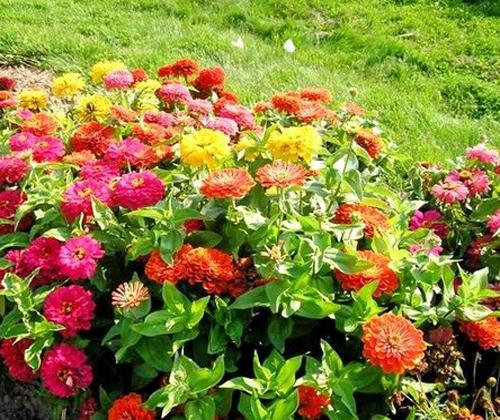 Hoa cúc thể hiện niềm quý mến, sự vui mừng