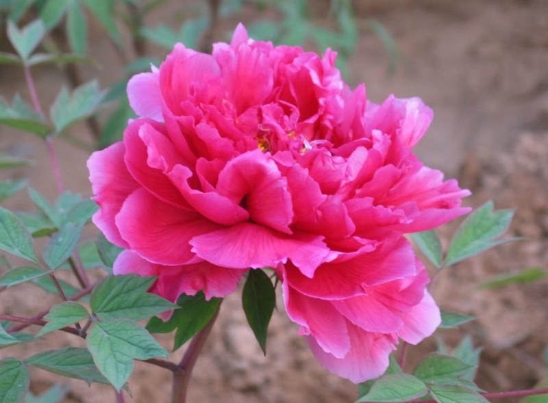 Kết quả hình ảnh cho hoa phù dung